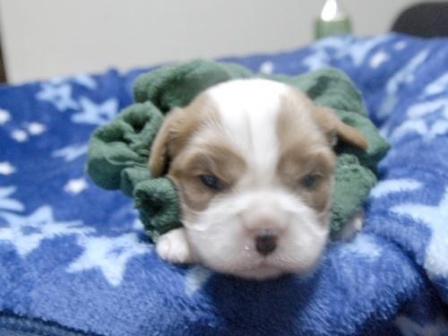 キャバリアの子犬(ID:1255511259)の1枚目の写真/更新日:2017-06-09