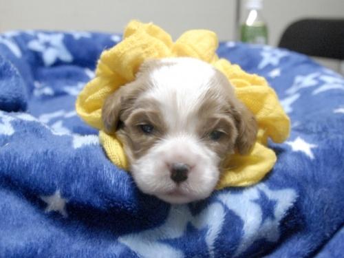 キャバリアの子犬(ID:1255511261)の1枚目の写真/更新日:2017-06-09
