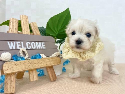 マルチーズの子犬(ID:1255511262)の1枚目の写真/更新日:2021-03-10
