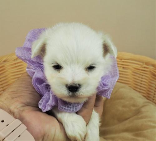 マルチーズの子犬(ID:1255511263)の1枚目の写真/更新日:2021-09-18