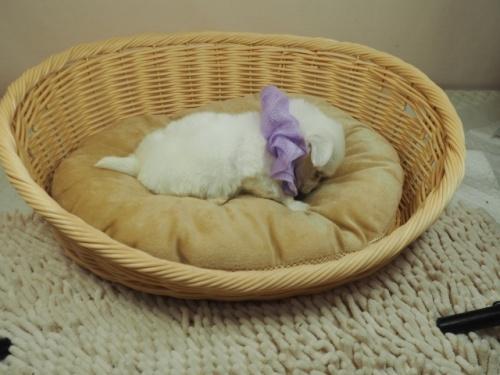 マルチーズの子犬(ID:1255511263)の2枚目の写真/更新日:2021-09-18