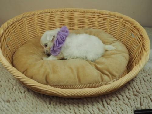 マルチーズの子犬(ID:1255511263)の3枚目の写真/更新日:2021-09-18
