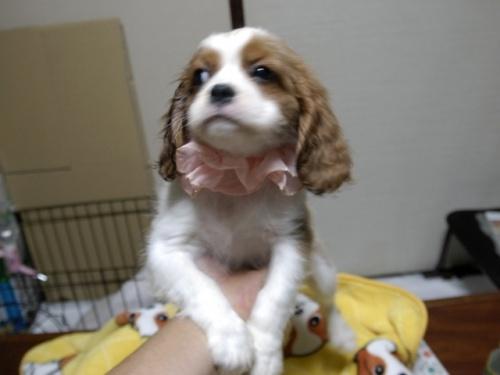 キャバリアの子犬(ID:1255511264)の1枚目の写真/更新日:2017-08-04