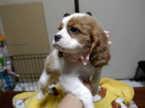 キャバリアの子犬(ID:1255511264)の2枚目の写真/更新日:2017-08-21