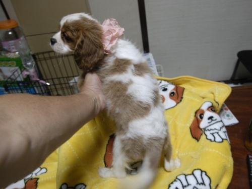 キャバリアの子犬(ID:1255511264)の5枚目の写真/更新日:2017-08-04