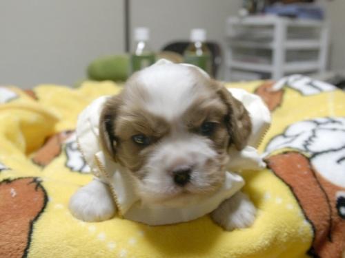 キャバリアの子犬(ID:1255511265)の1枚目の写真/更新日:2017-06-30