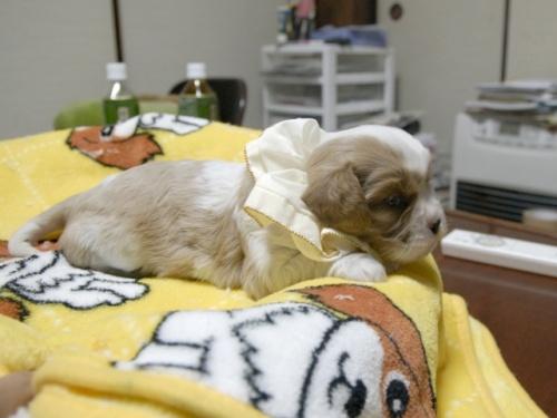 キャバリアの子犬(ID:1255511265)の2枚目の写真/更新日:2017-06-30