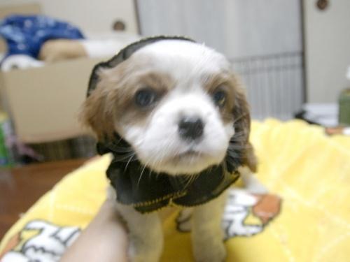 キャバリアの子犬(ID:1255511266)の1枚目の写真/更新日:2017-07-21
