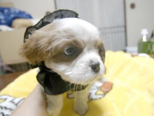 キャバリアの子犬(ID:1255511266)の2枚目の写真/更新日:2017-07-21