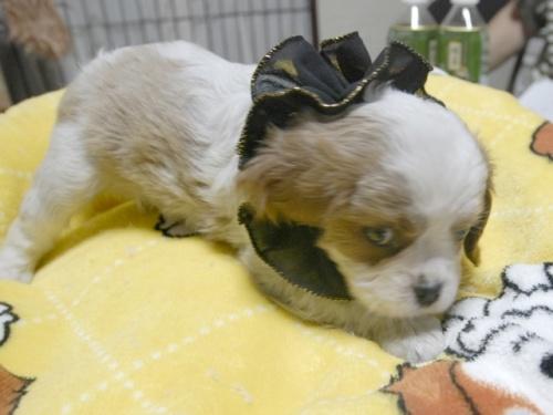 キャバリアの子犬(ID:1255511266)の3枚目の写真/更新日:2017-07-21