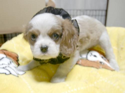 キャバリアの子犬(ID:1255511266)の4枚目の写真/更新日:2017-07-21