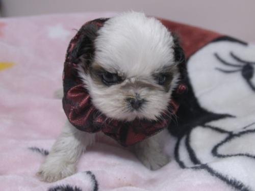 シーズーの子犬(ID:1255511267)の1枚目の写真/更新日:2017-07-21