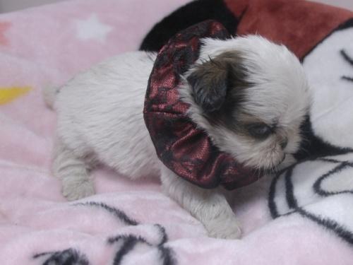 シーズーの子犬(ID:1255511267)の2枚目の写真/更新日:2017-07-21