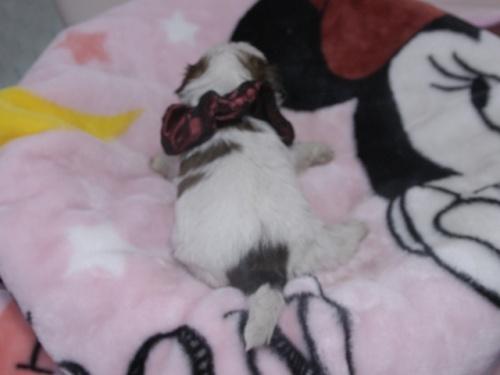 シーズーの子犬(ID:1255511267)の4枚目の写真/更新日:2017-07-21