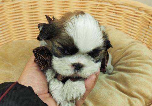 シーズーの子犬(ID:1255511268)の1枚目の写真/更新日:2017-07-21