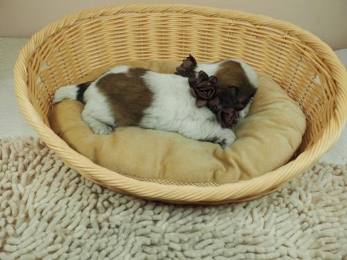 シーズーの子犬(ID:1255511268)の2枚目の写真/更新日:2017-07-21