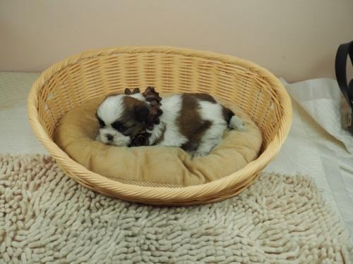 シーズーの子犬(ID:1255511268)の3枚目の写真/更新日:2021-03-10