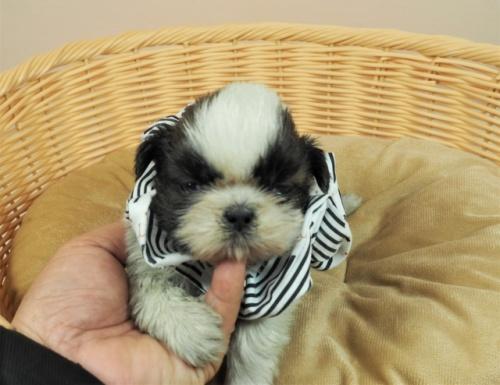 シーズーの子犬(ID:1255511269)の1枚目の写真/更新日:2017-07-21