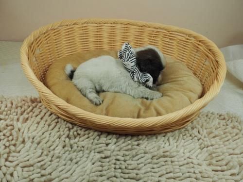 シーズーの子犬(ID:1255511269)の2枚目の写真/更新日:2021-03-10