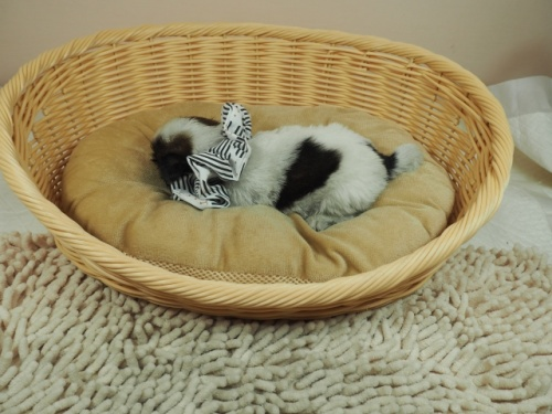 シーズーの子犬(ID:1255511269)の3枚目の写真/更新日:2021-03-10