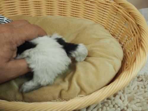 シーズーの子犬(ID:1255511269)の4枚目の写真/更新日:2017-07-21