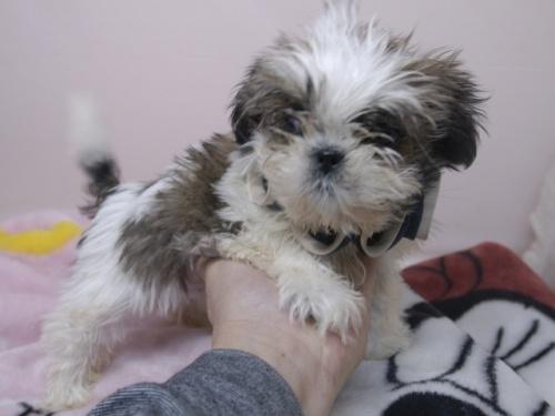 シーズーの子犬(ID:1255511270)の2枚目の写真/更新日:2017-07-17