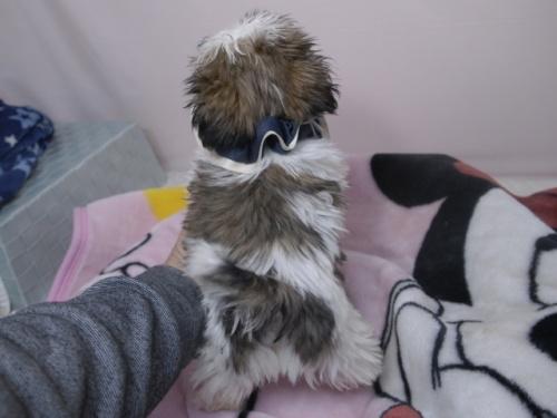 シーズーの子犬(ID:1255511270)の3枚目の写真/更新日:2017-07-17