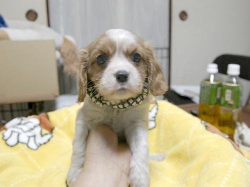 キャバリアの子犬(ID:1255511271)の1枚目の写真/更新日:2017-07-21
