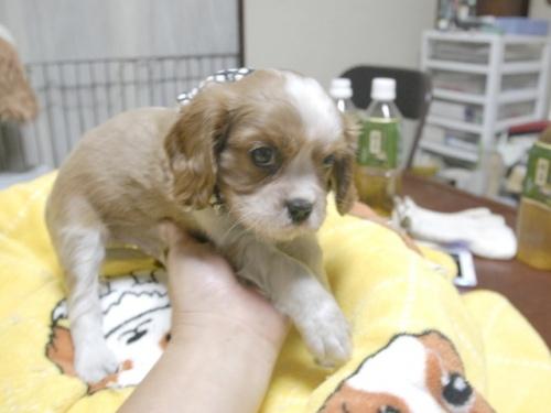 キャバリアの子犬(ID:1255511271)の2枚目の写真/更新日:2017-07-21