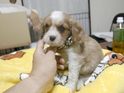 キャバリアの子犬(ID:1255511271)の4枚目の写真/更新日:2017-07-21