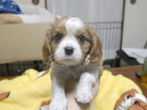キャバリアの子犬(ID:1255511272)の1枚目の写真/更新日:2017-07-21