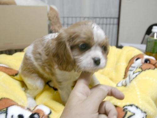 キャバリアの子犬(ID:1255511272)の2枚目の写真/更新日:2017-07-21