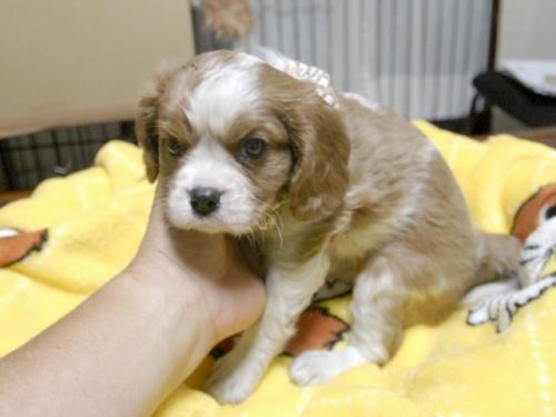 キャバリアの子犬(ID:1255511272)の3枚目の写真/更新日:2017-07-21