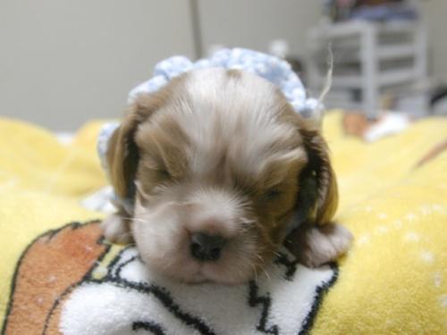 キャバリアの子犬(ID:1255511273)の1枚目の写真/更新日:2017-06-30