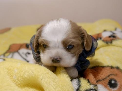 キャバリアの子犬(ID:1255511274)の1枚目の写真/更新日:2018-10-08
