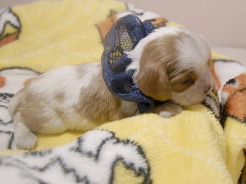 キャバリアの子犬(ID:1255511274)の2枚目の写真/更新日:2018-10-08