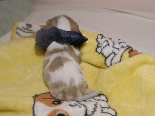 ミニチュアシュナウザーの子犬(ID:1255511274)の4枚目の写真/更新日:2017-08-04