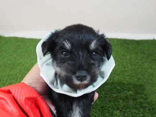 ミニチュアシュナウザーの子犬(ID:1255511275)の1枚目の写真/更新日:2018-10-29