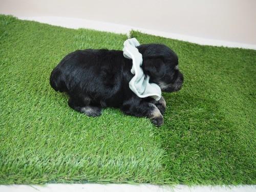 ミニチュアシュナウザーの子犬(ID:1255511275)の2枚目の写真/更新日:2018-10-29