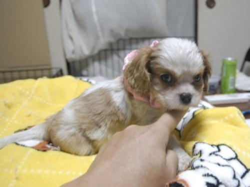 キャバリアの子犬(ID:1255511276)の3枚目の写真/更新日:2017-07-21