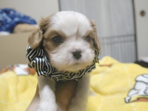 キャバリアの子犬(ID:1255511277)の1枚目の写真/更新日:2017-07-21