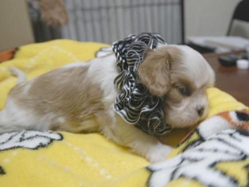 キャバリアの子犬(ID:1255511277)の2枚目の写真/更新日:2017-07-21
