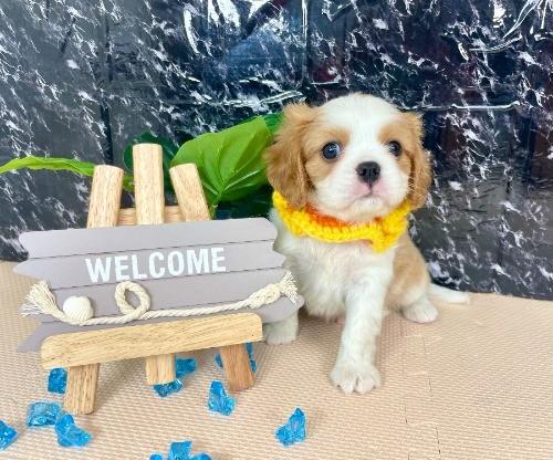 キャバリアの子犬(ID:1255511279)の1枚目の写真/更新日:2017-07-21