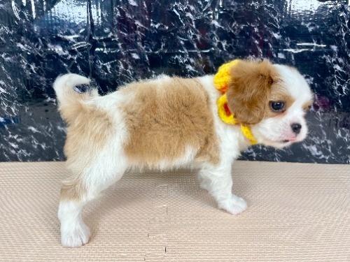 キャバリアの子犬(ID:1255511279)の2枚目の写真/更新日:2017-07-21