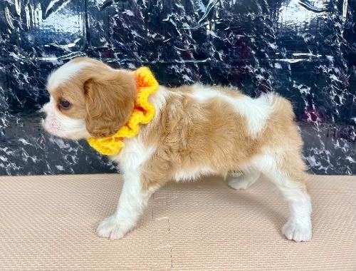キャバリアの子犬(ID:1255511279)の3枚目の写真/更新日:2017-07-21