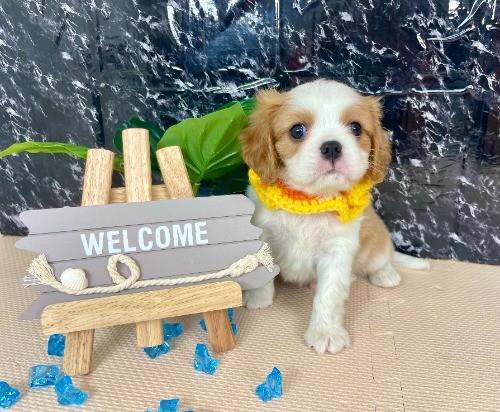 キャバリアの子犬(ID:1255511279)の5枚目の写真/更新日:2017-08-04