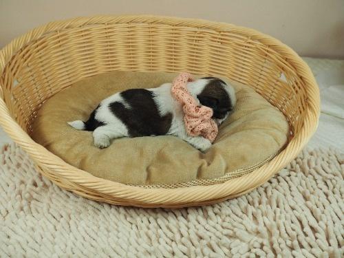 シーズーの子犬(ID:1255511280)の2枚目の写真/更新日:2021-06-24