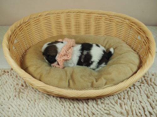 シーズーの子犬(ID:1255511280)の3枚目の写真/更新日:2017-08-04