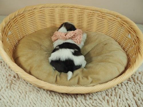 シーズーの子犬(ID:1255511280)の4枚目の写真/更新日:2017-08-04