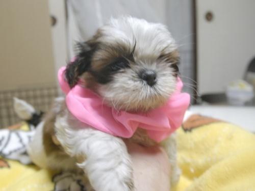 シーズーの子犬(ID:1255511281)の1枚目の写真/更新日:2017-08-04
